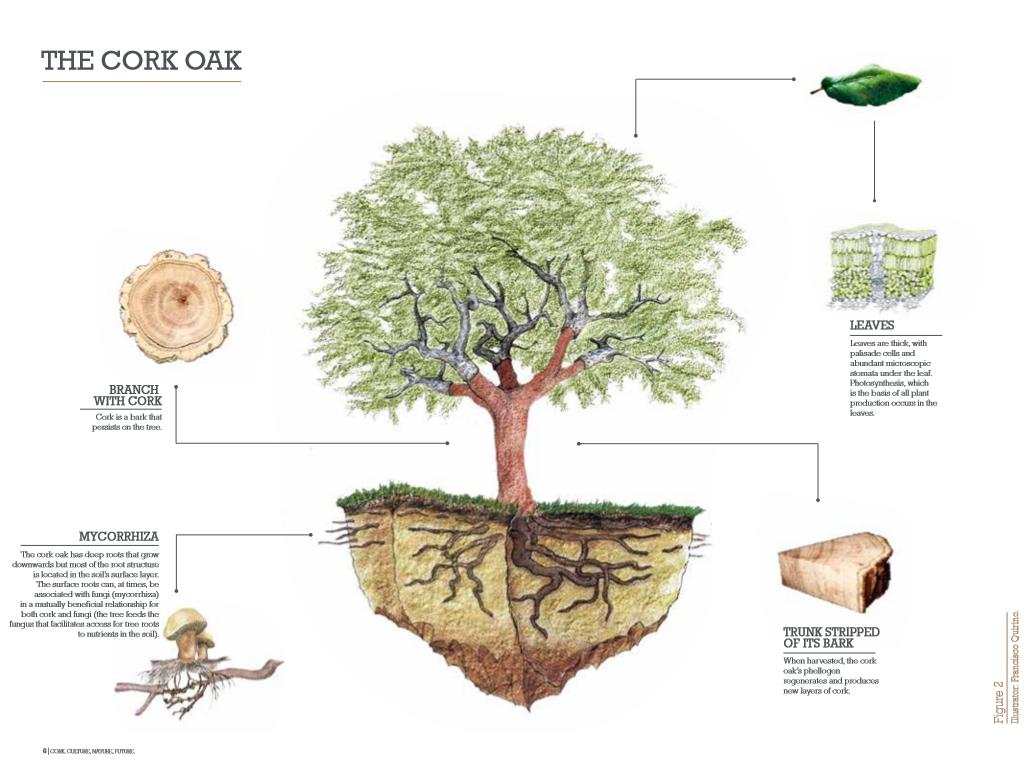 How to grow an oak from an acorn