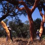 Cork harvesting2