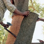 Cork harvesting5