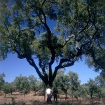 Cork_oak_tree_before_harvesting