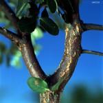 ramos sobreiro