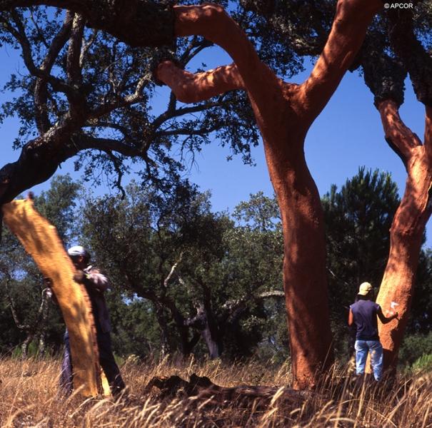 Cork harvesting 6