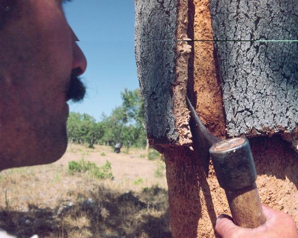 Cork harvesting 4