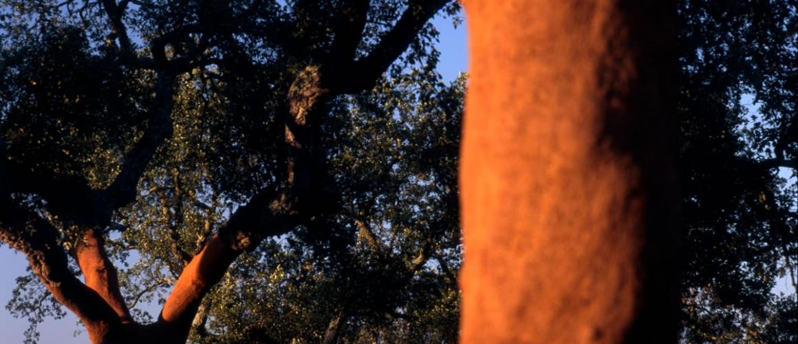 Cork Oak 22