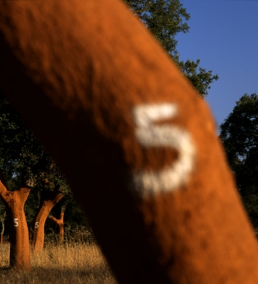 Cork Oak 11