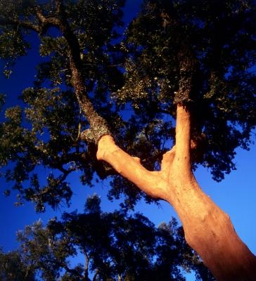 Cork Oak 62
