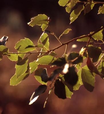 Cork Oak 33