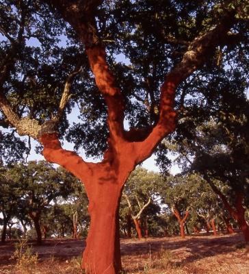 Cork Oak 35
