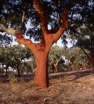 Cork Oak 31