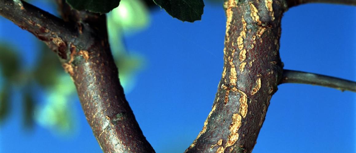 Cork Oak 2