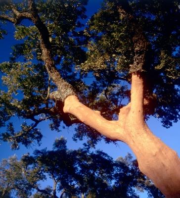 Cork Oak 4